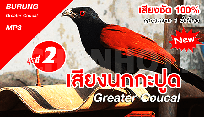 greater coucal 2